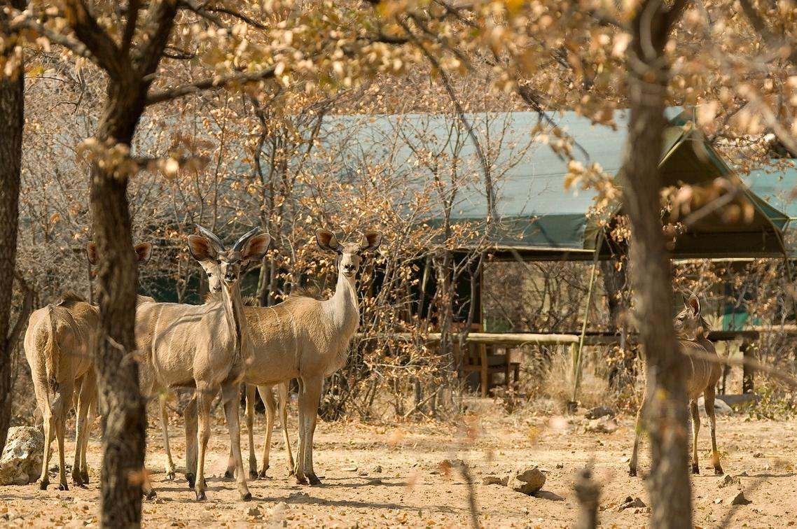 Kudu at Ongava Tented Camp, Etosha National Park