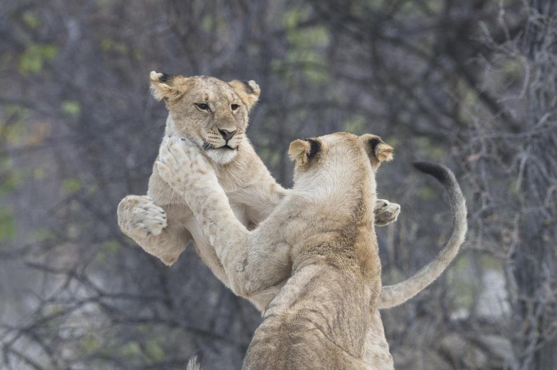 Lions at Ongava Tented Camp, Etosha National Park