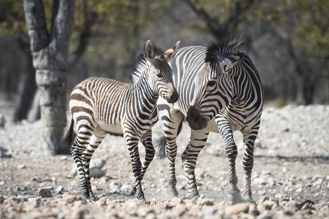 Zebra mother and baby at Ongava Tented Camp, Etosha National Park