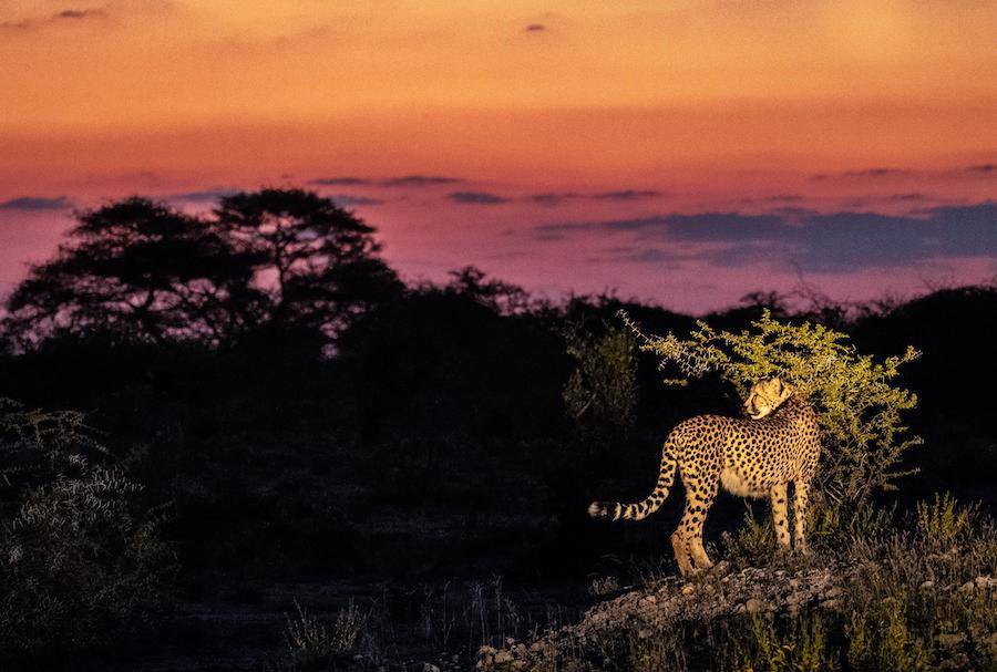 Cheetah at sunset Onguma Nature Reserve, Etosha National Park, Namibia